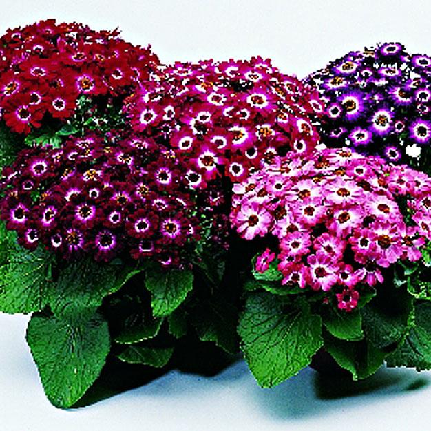 Комнатные цветы цинерария выращивание и уход фото 79